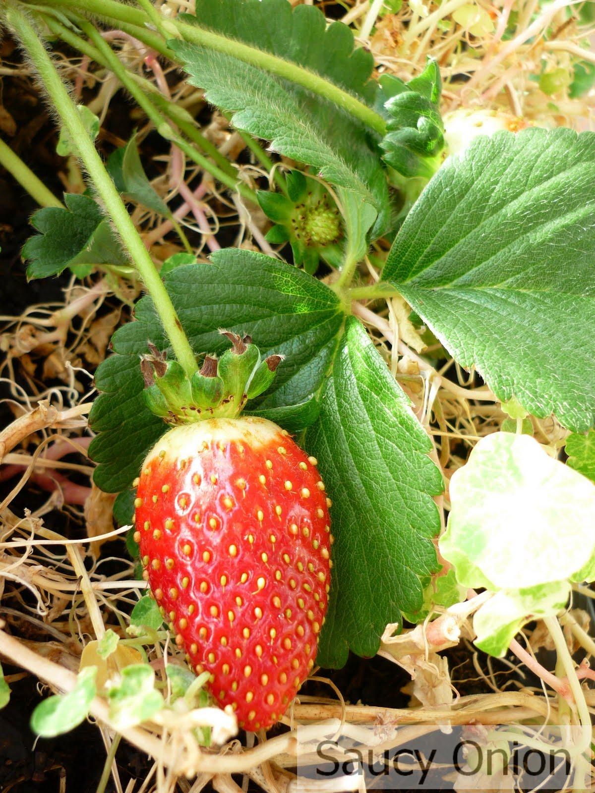 strawberry needles - photo #23