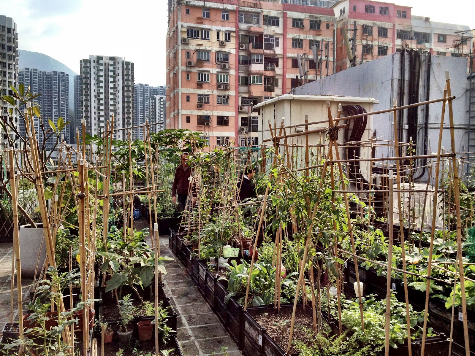 Hong Kong Roof Top Farms Saucy Onion
